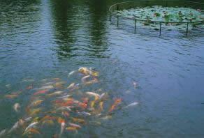 西湖十景花港観魚2