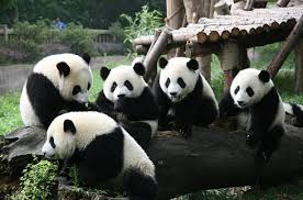 大熊猫繁育研究基地4